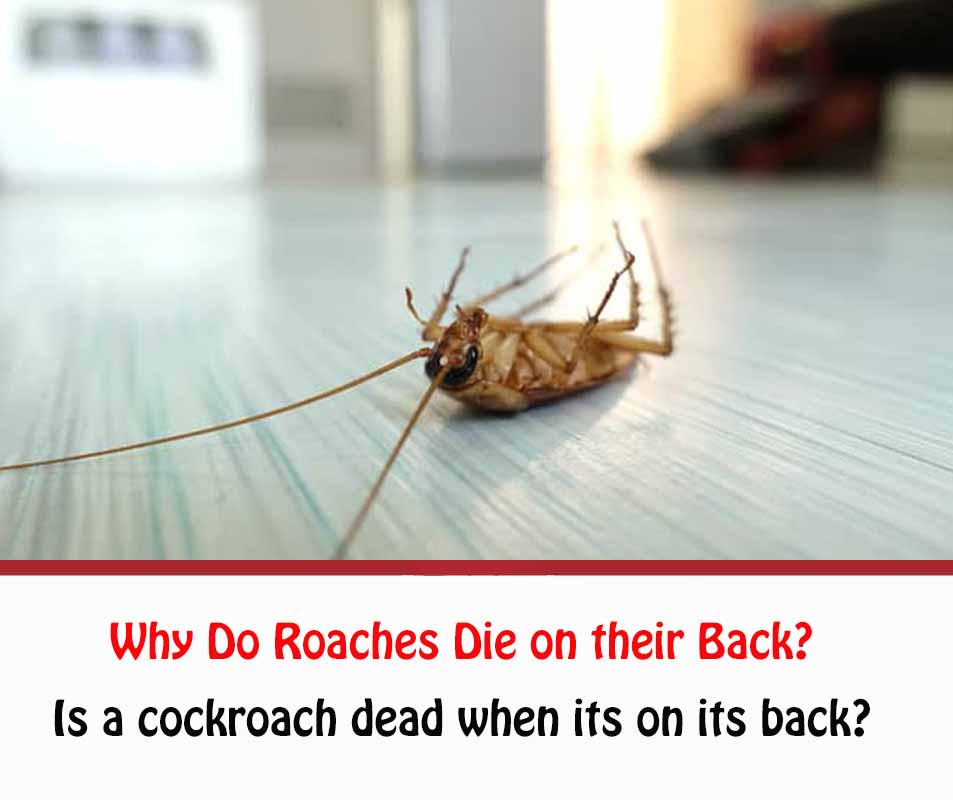 Why Do Roaches Die on their Back