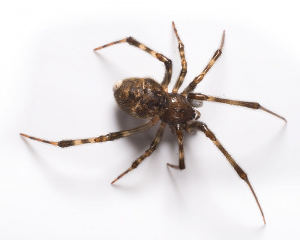 American house spider 2021 - Image By catseyepest