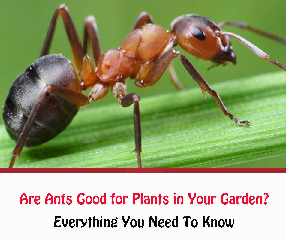 Are Ants Good for Plants in Your Garden