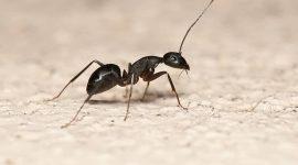Are Black Ants Dangerous?