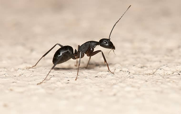 Are Black Ants Dangerous 2021 - Image By bugheadpest