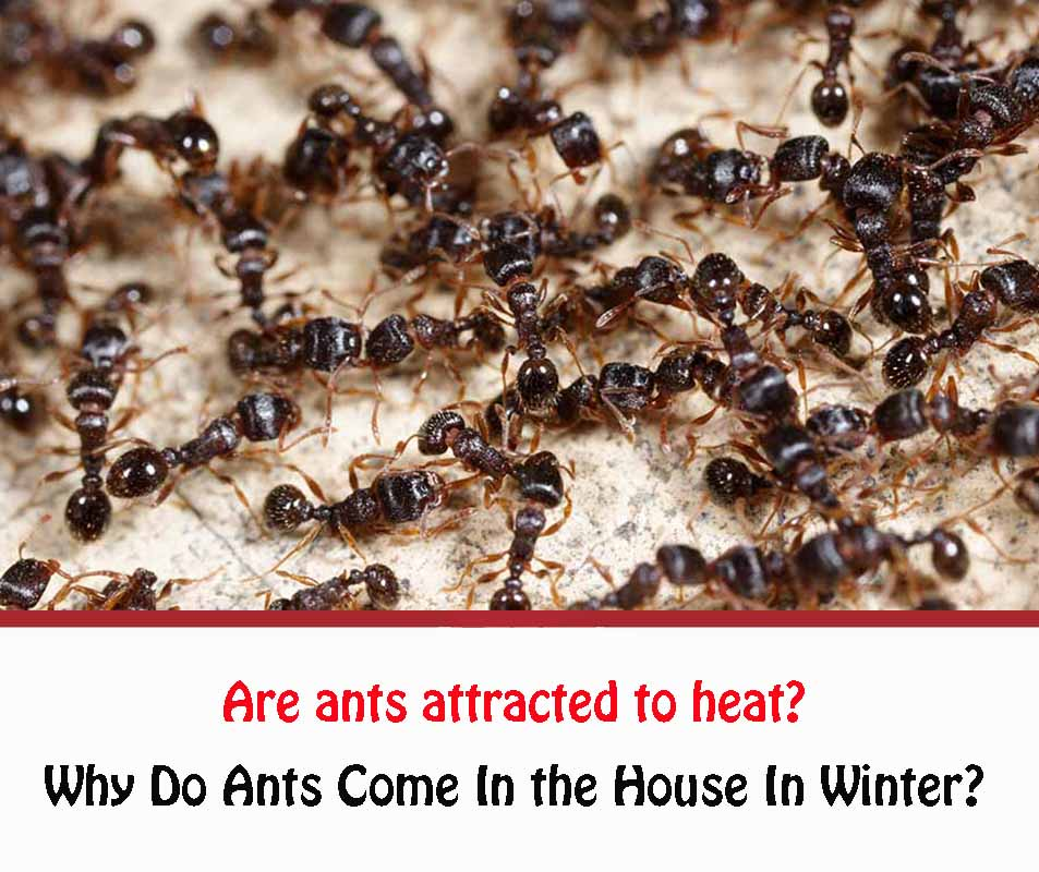Are ants attracted to heat