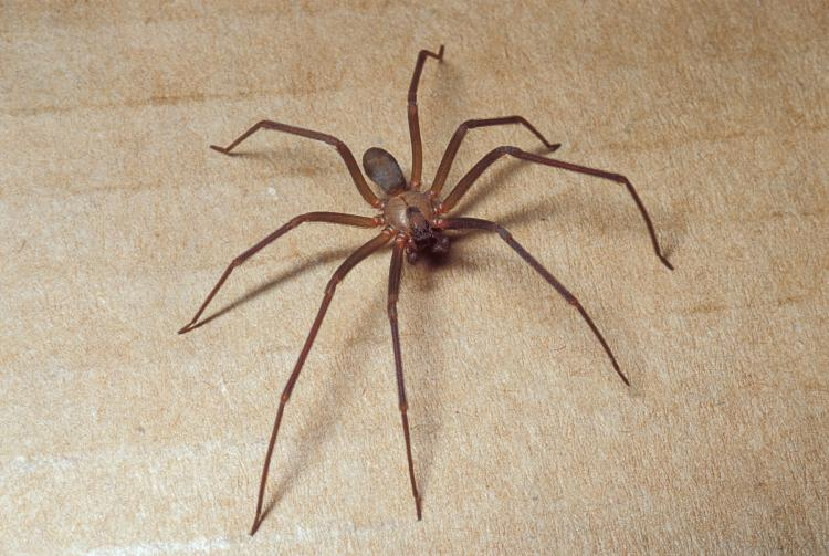 Brown recluse 2021 - Image By moc gov