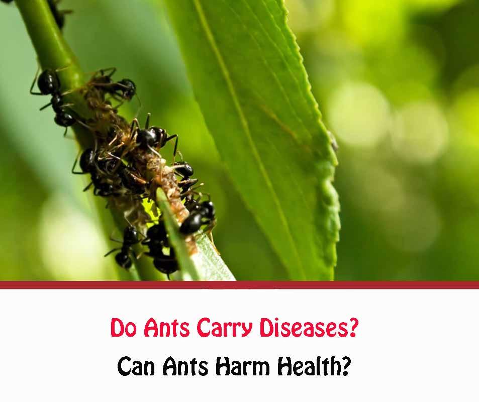 Can Ants Harm Health