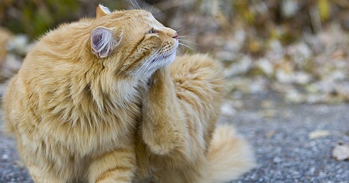 Can Cats Get Lice From Human 2020 - Image By Vets4pets