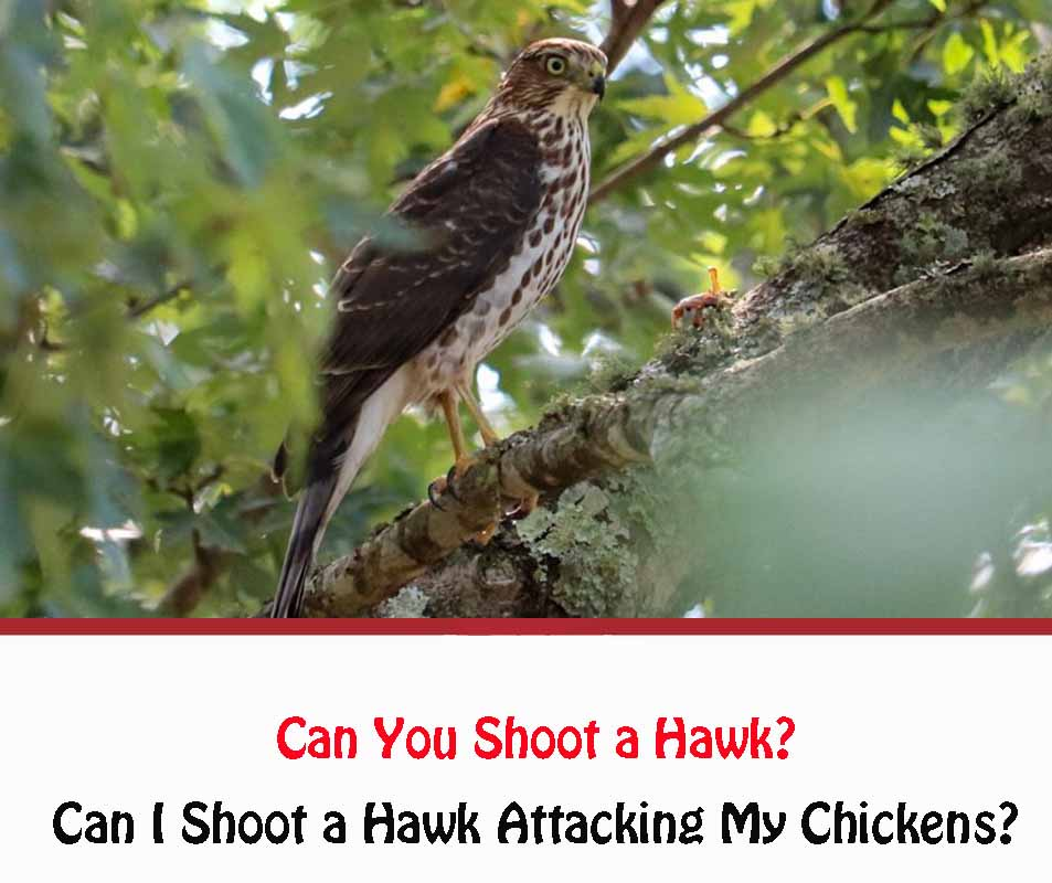 Can You Shoot a Hawk If It Is Attacking Chickens