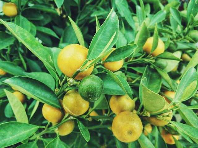 Citrus Fruits - Image By morningchores