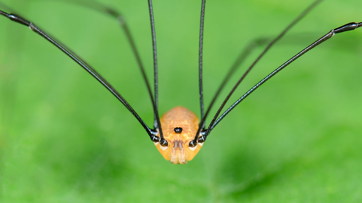 Daddy Long Legs 2021 - Image By Nature