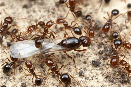 Do Ants Carry Diseases 2021 - Image By fireantcontrol