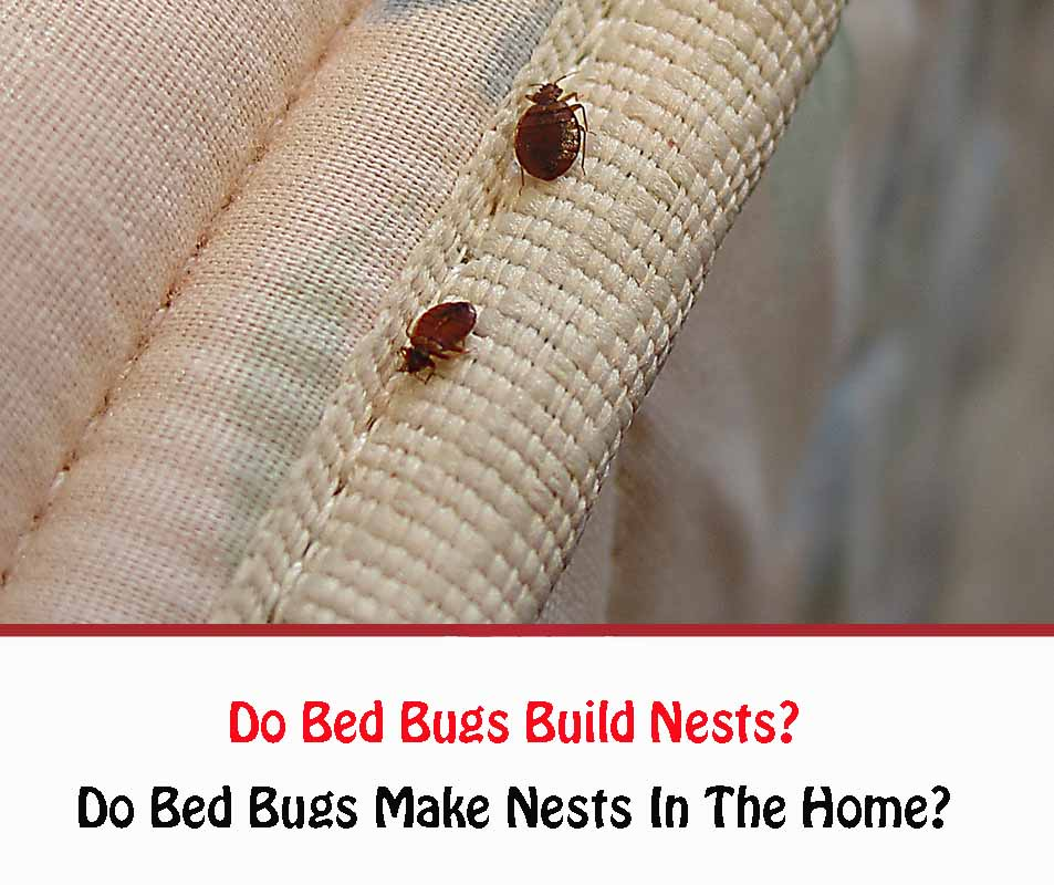 Do Bed Bugs Build Nests?