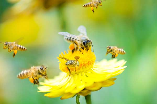Do Dryer Sheets Repel Bees 2021 - Image By beewildpestremoval