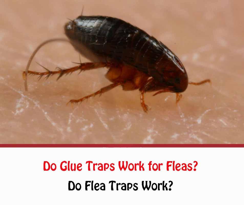 Do Glue Traps Work for Fleas?