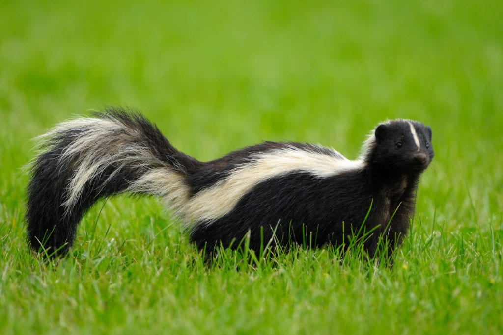 Do Moth Balls Work To Keep Skunks Away 2021 - Image By Nature