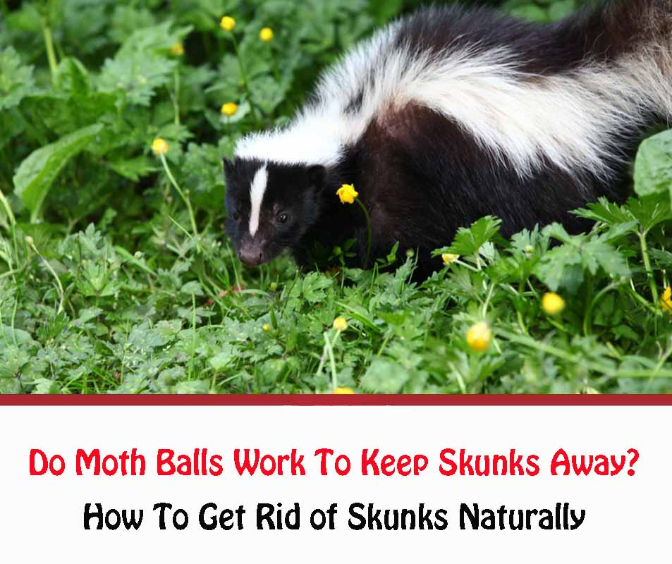 Do Moth Balls Work To Keep Skunks Away