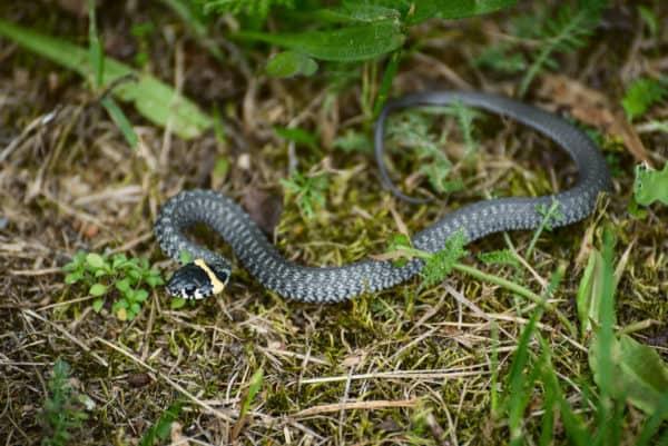Does Vinegar Keep Snakes Away 2021 - Image By callnorthwest