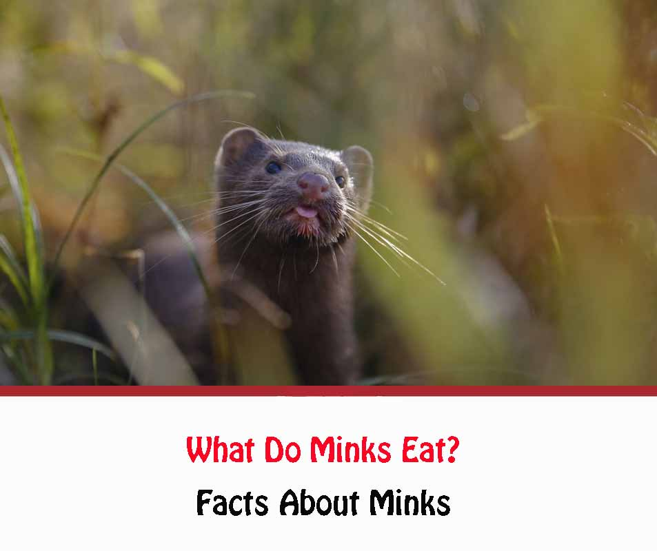 Facts About Minks