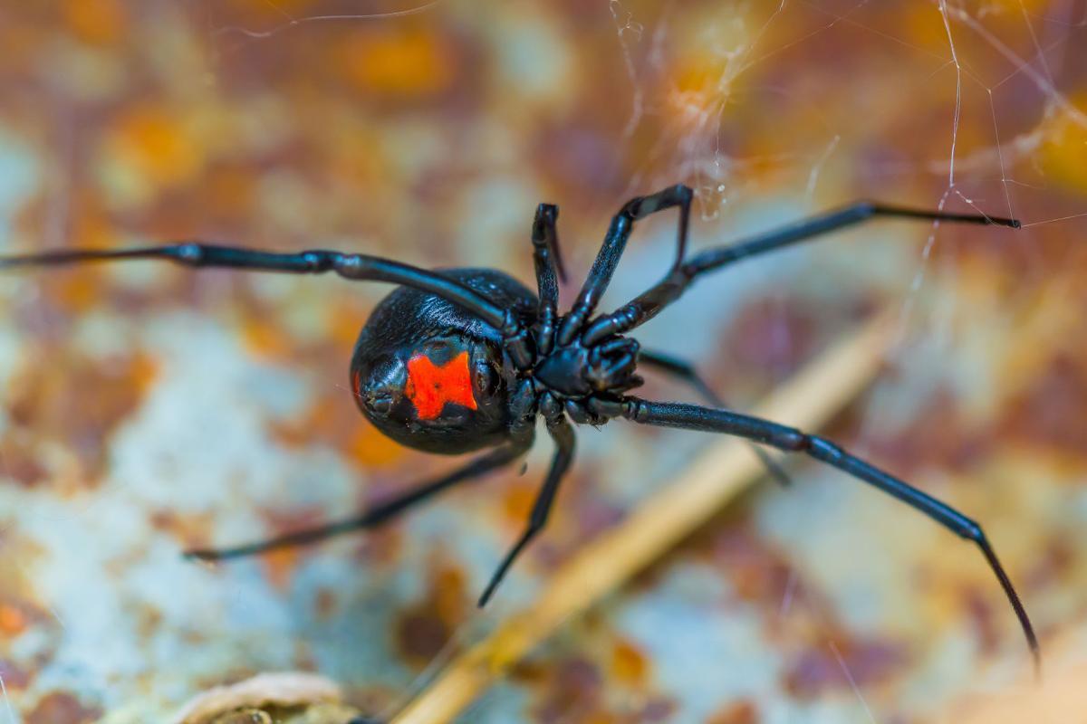 Female black widow spiders - Image By Standard