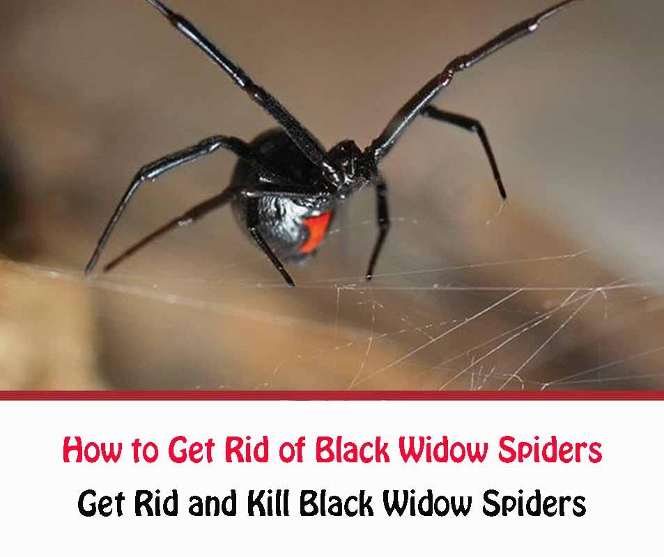 https://www.getridofallthings.com/wp-content/uploads/2020/12/Get-Rid-and-Kill-Black-Widow-Spiders.jpg