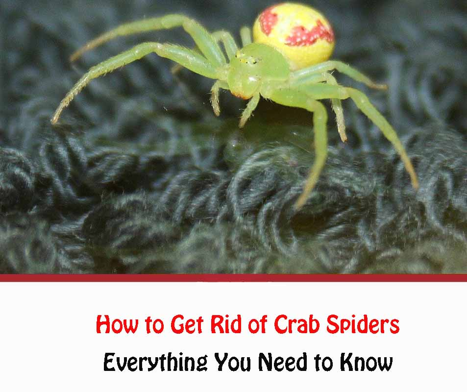 Get Rid of Crab Spiders Naturally