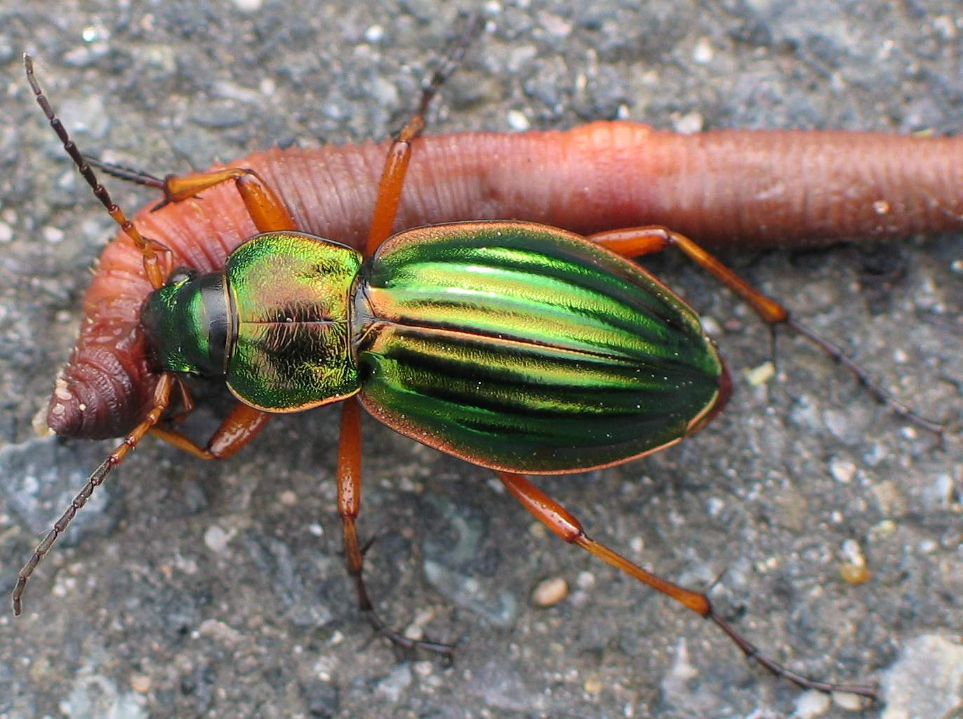 Get rid of Ground Beetles 2020 - Image By wikipedia