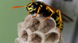 How Long Do Wasps Live?