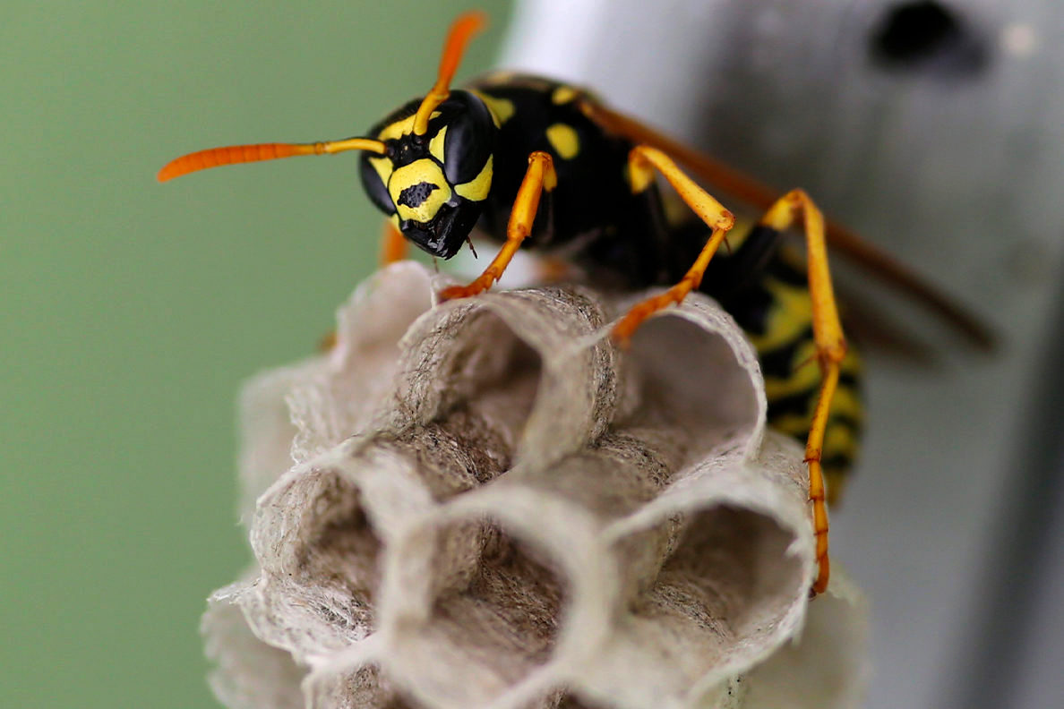 How Long Do Wasps Live 2021 - Image By wsu
