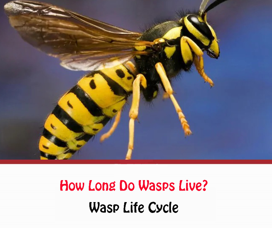 How Long Do Wasps Live