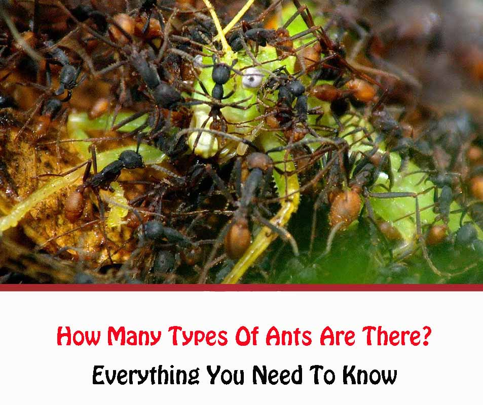 How Many Types Of Ants Are There