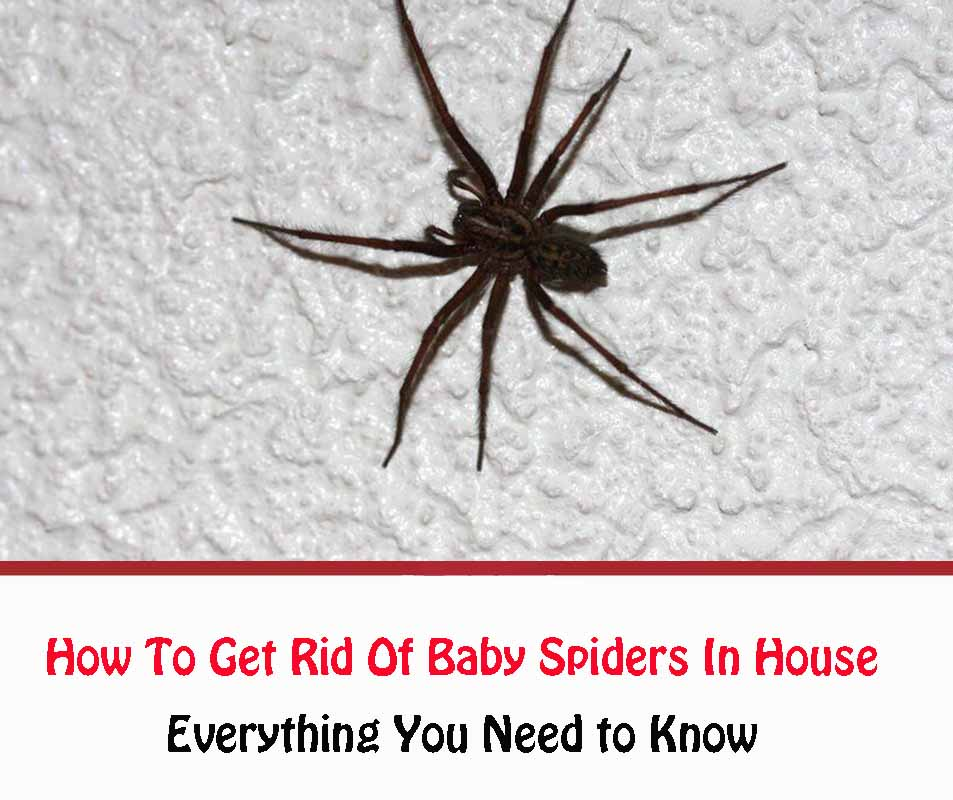 How To Get Rid Of Baby Spiders In House