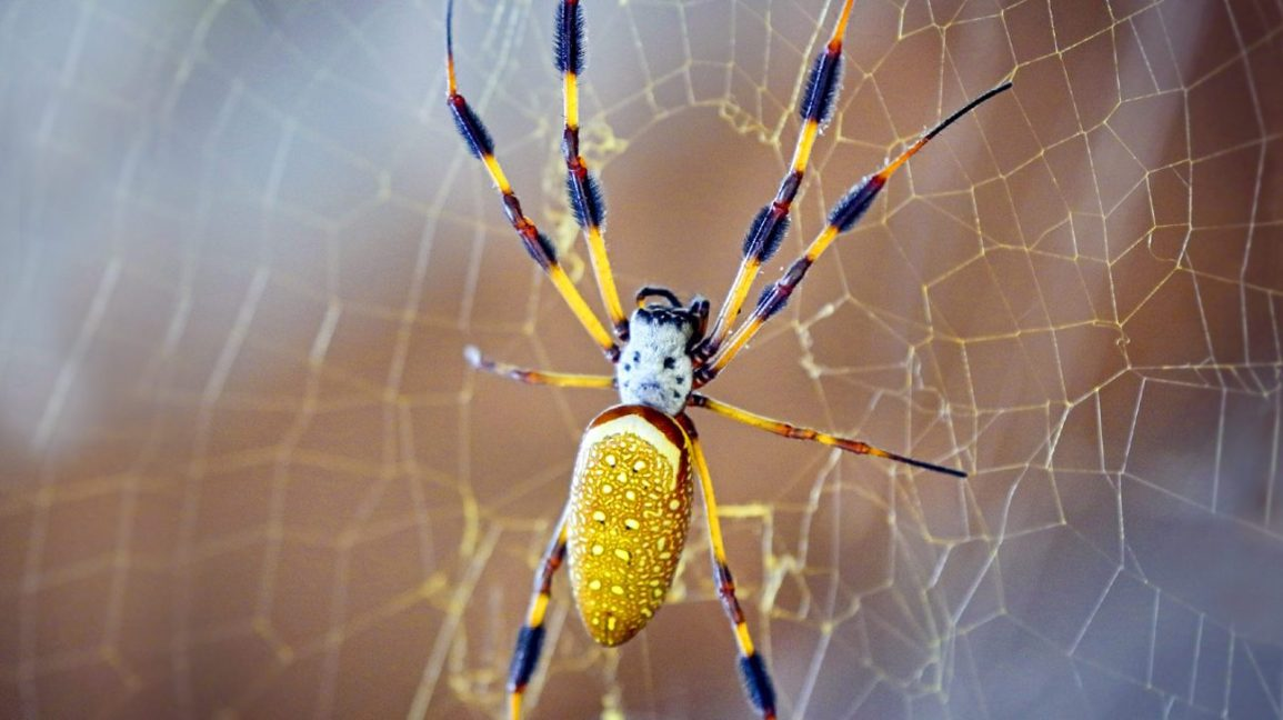 How To Get Rid Of Banana Spiders Naturally 2020 - Image By nationalgeographic