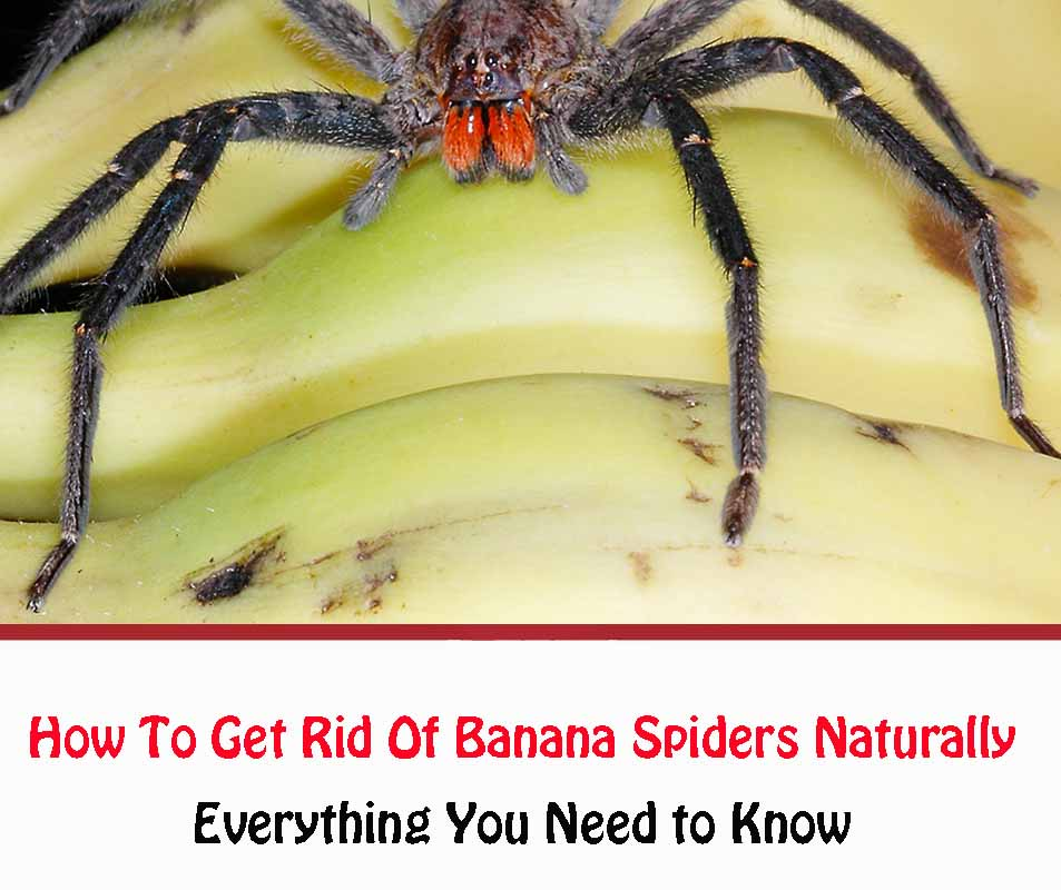 How To Get Rid Of Banana Spiders NaturallyHow To Get Rid Of Banana Spiders Naturally