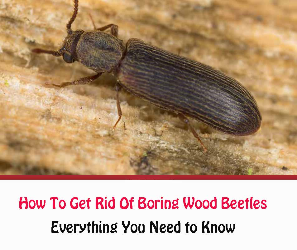 How To Get Rid Of Boring Wood Beetles naturally