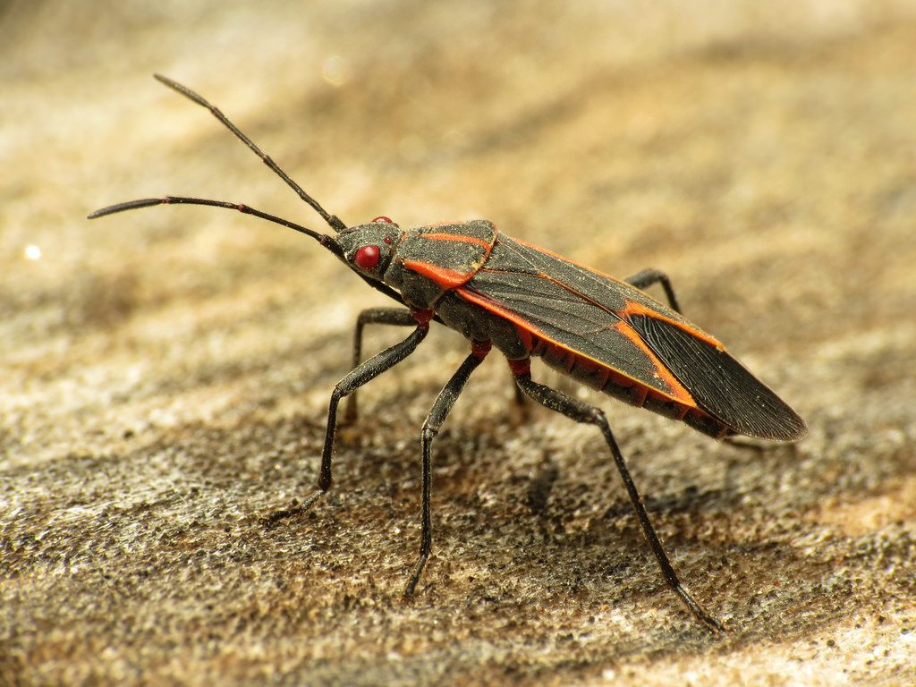 How To Get Rid Of Boxelder Bugs 2020 - Image By Bugwiz