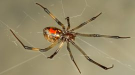 How To Get Rid Of Brown Widow Spiders Naturally