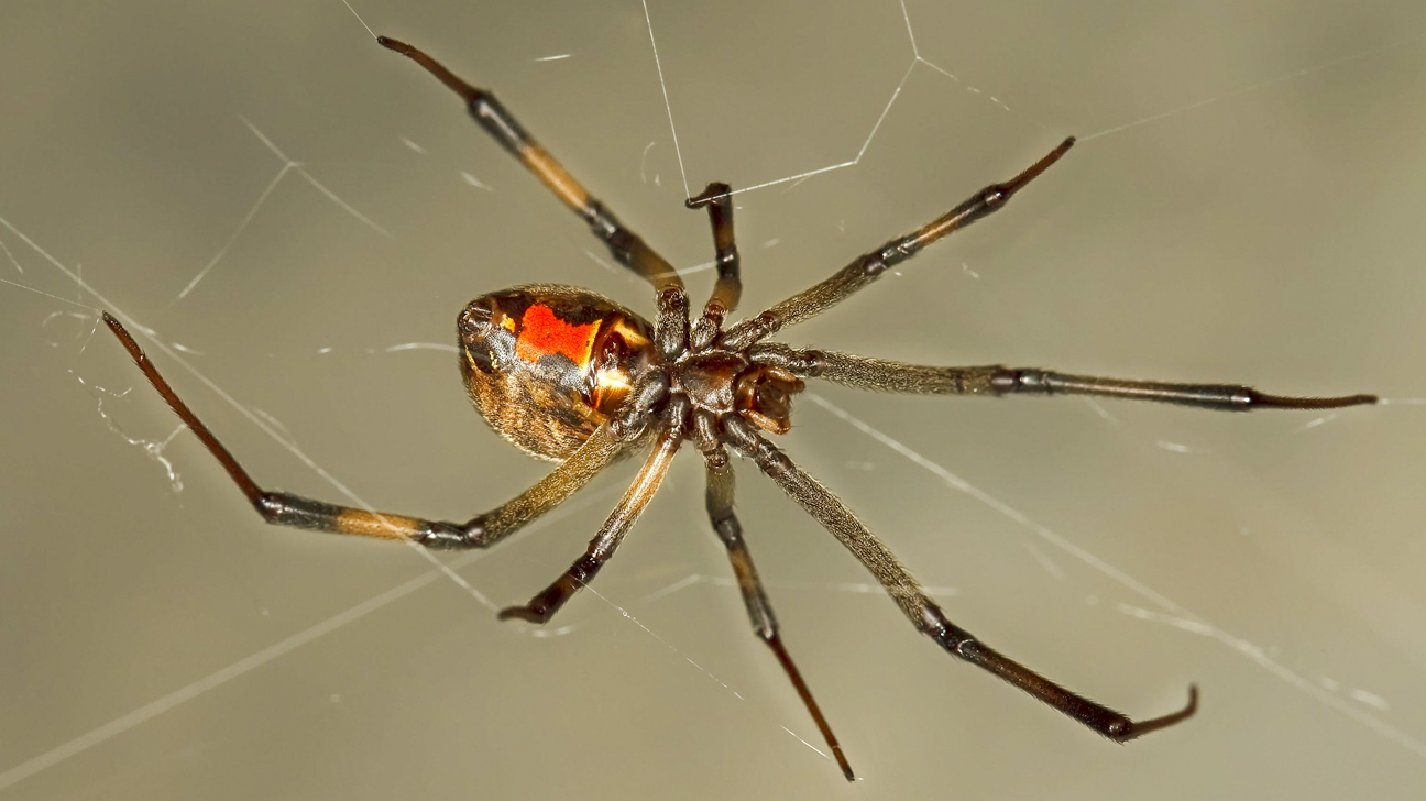 How To Get Rid Of Brown Widow Spiders 2020 - Image By kcrw