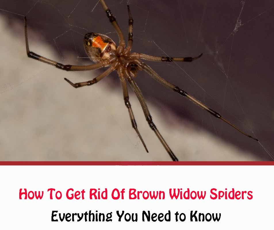 How To Get Rid Of Brown Widow Spiders