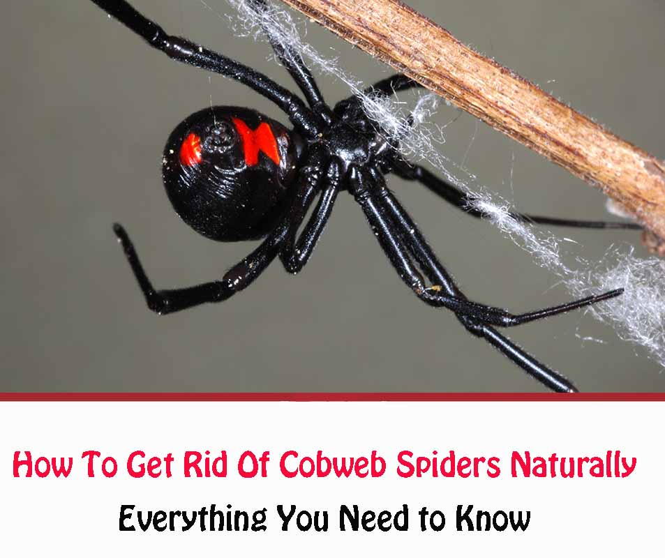 How To Get Rid Of Cobweb Spiders Naturally