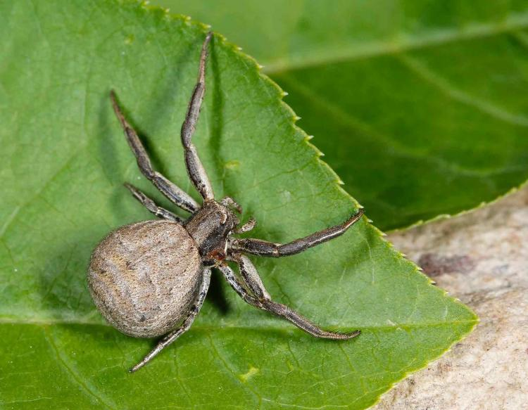 How To Get Rid Of Crab Spiders 2021 - Image By MDC