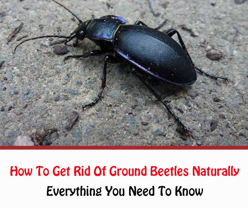 How To Get Rid Of Ground Beetles Naturally