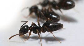 How To Get Rid Of Odorous House Ants Naturally