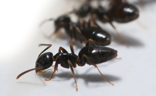 How To Get Rid Of Odorous House Ants Naturally - image By mypmp