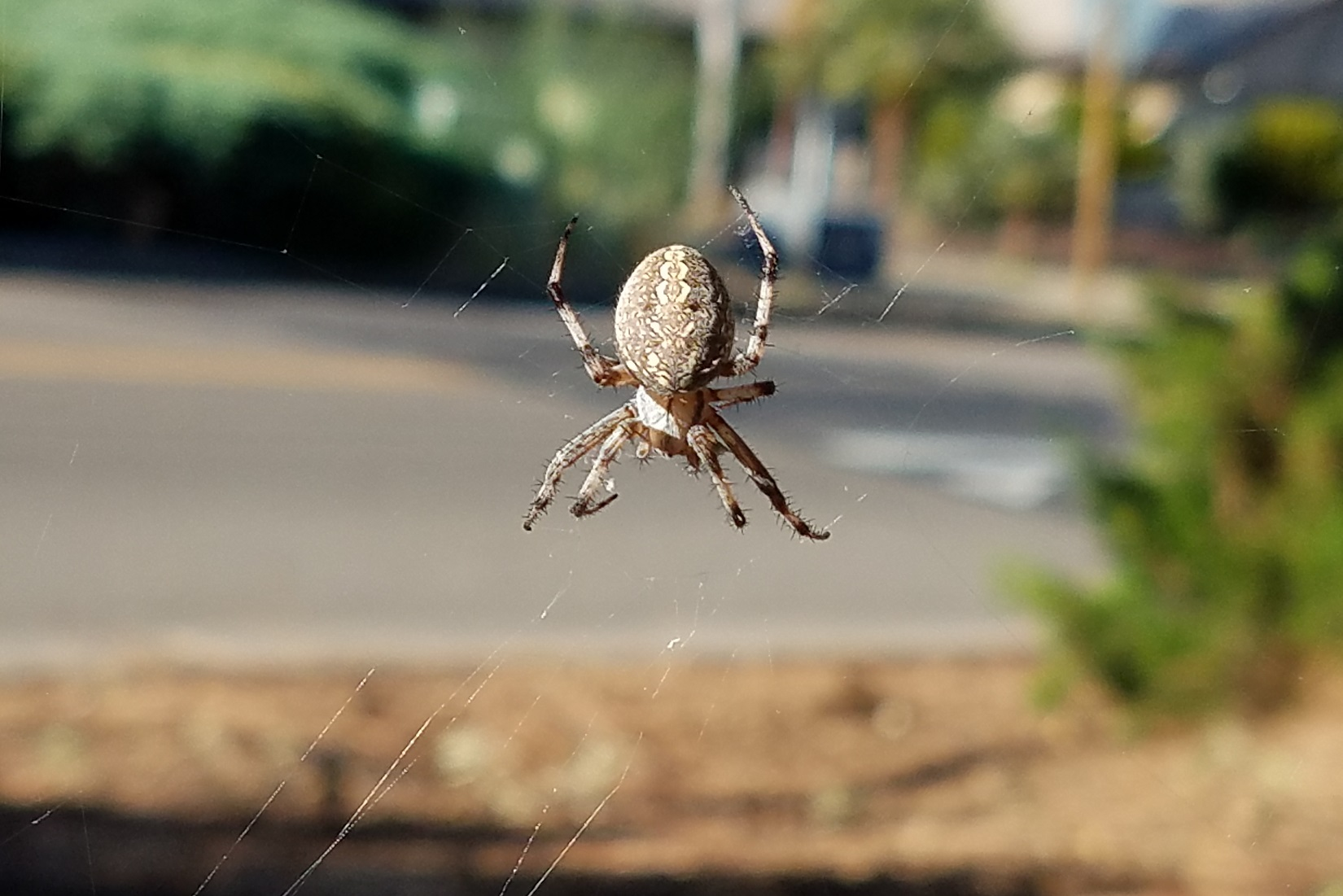 How To Get Rid Of Orb Weaver Spiders 2020 - Image By wikipedia