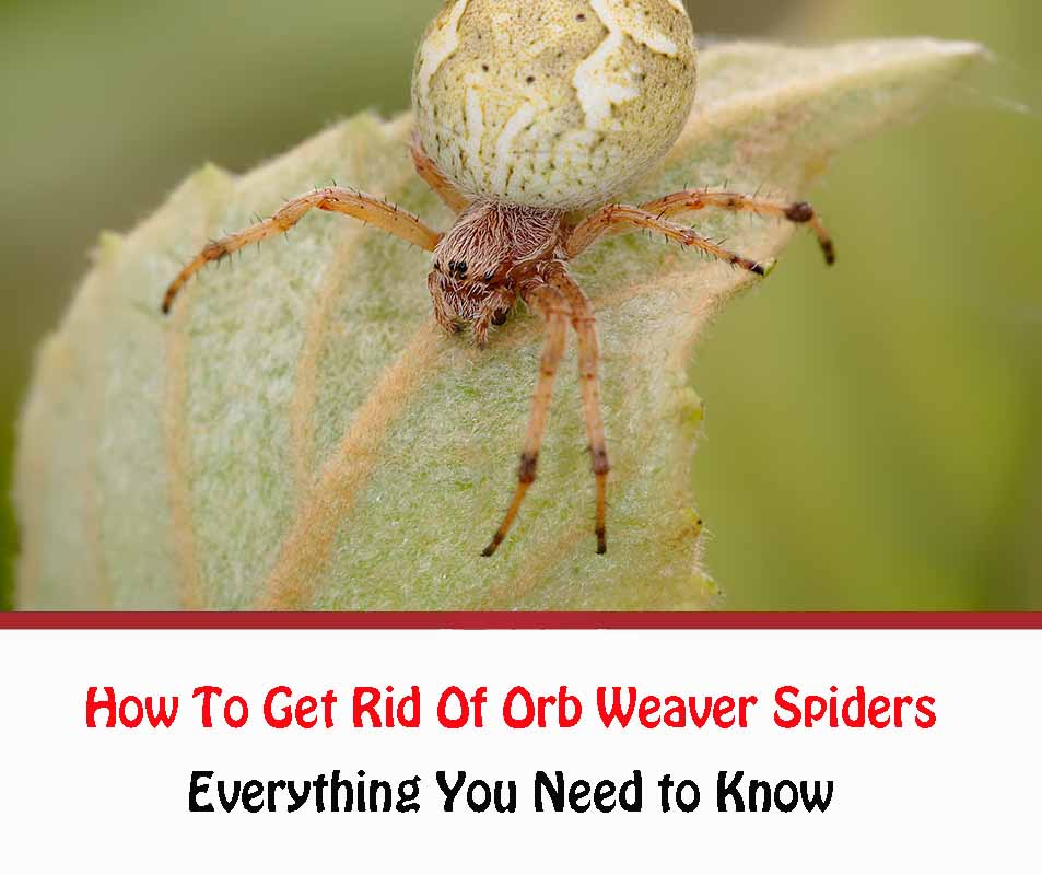 How To Get Rid Of Orb Weaver Spiders