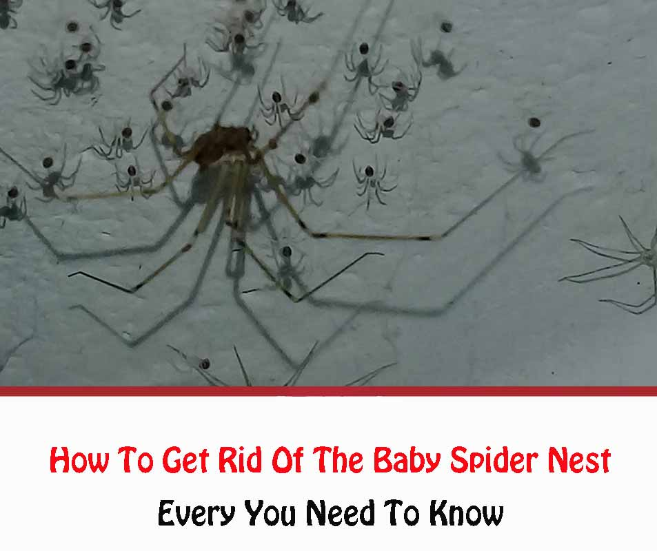 How To Get Rid Of The Baby Spider Nest