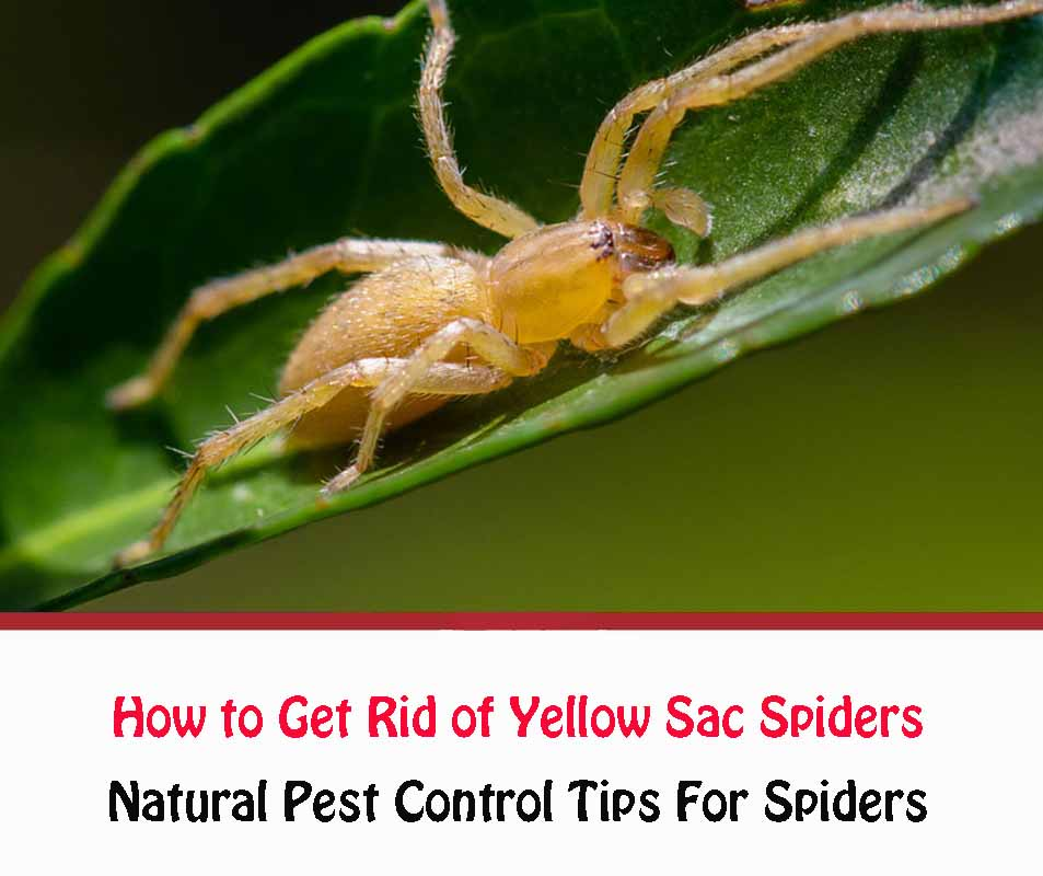 How To Get Rid Of Yellow Sac Spiders Naturally
