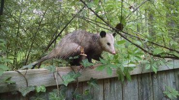 How To Keep Possums Away From Cat Food?