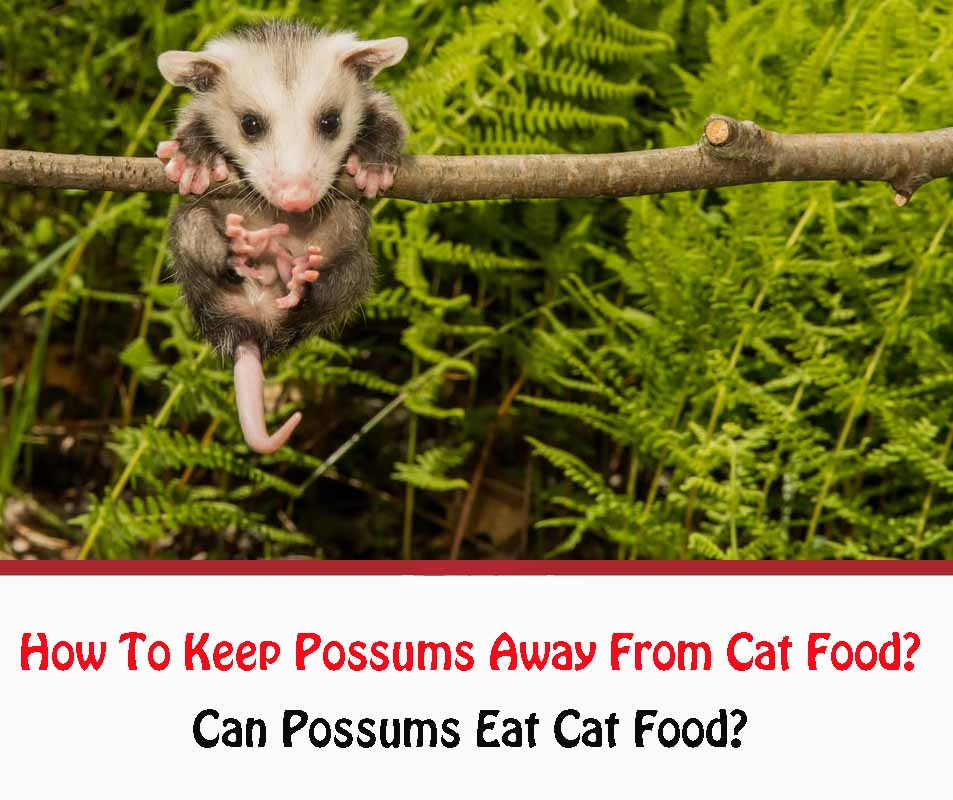 How To Keep Possums Away From Cat Food