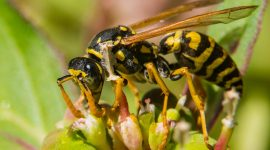 How long do yellow jackets live without food?