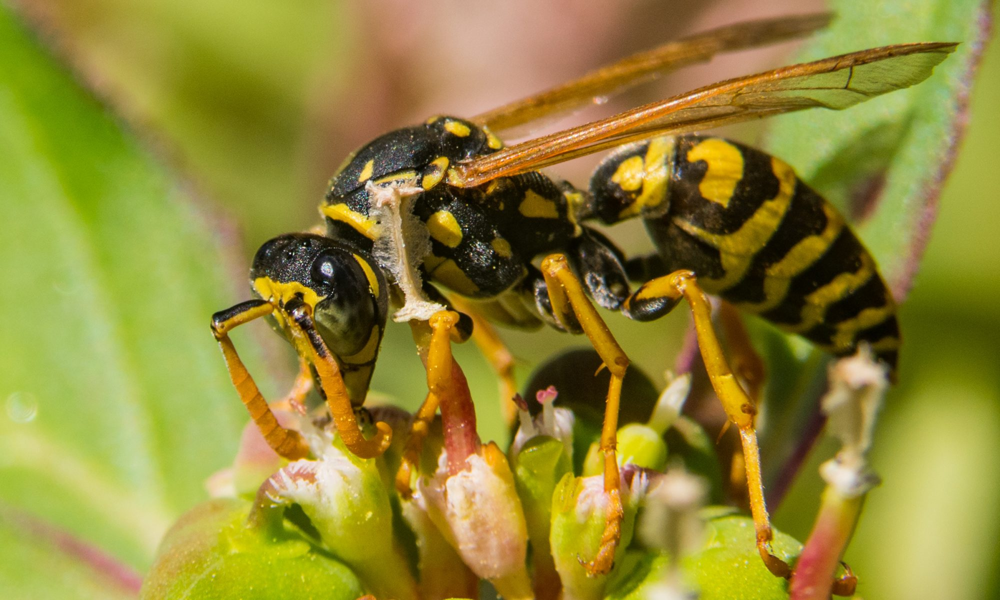How long do yellow jackets live without food