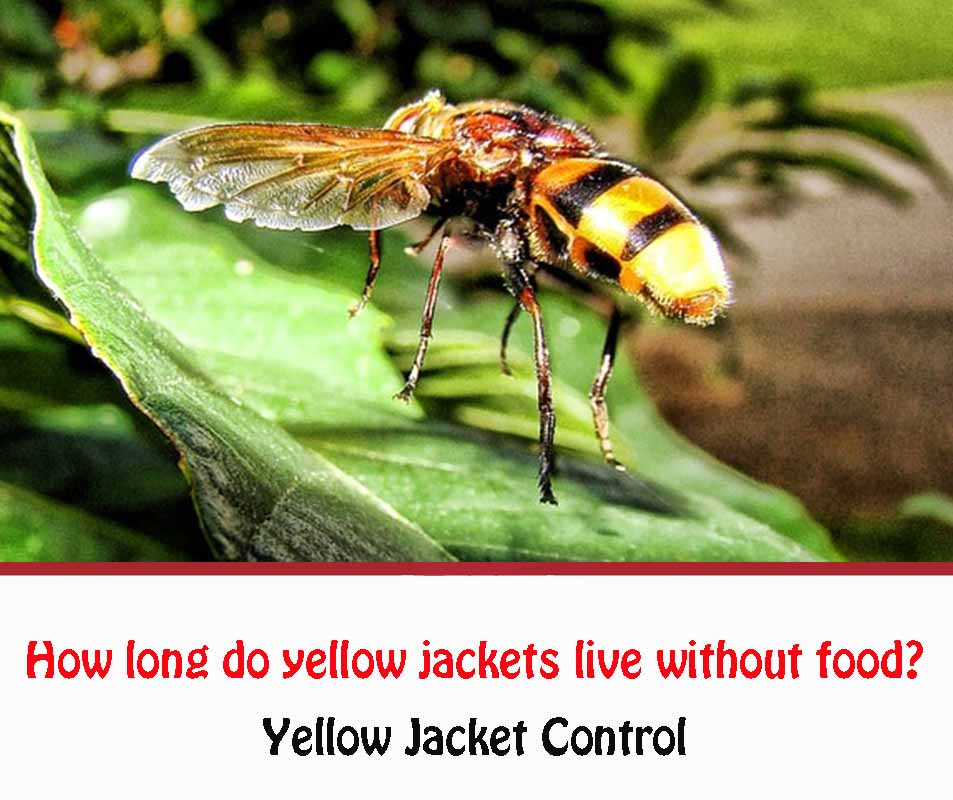 How long do yellow jackets live without foodc2020